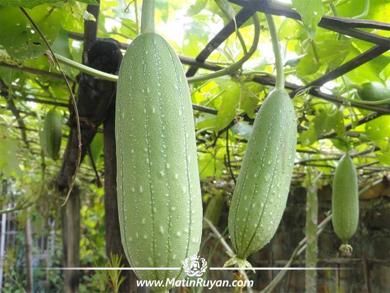 گیاه لوفا ،یک لیف طبیعی مناسب پوست
