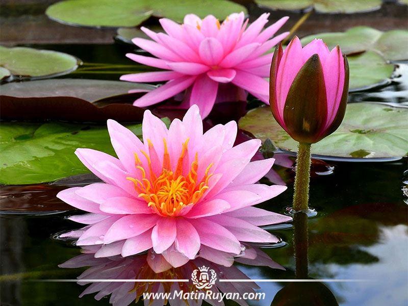 فواید گل نیلوفر در زیبایی پوست و مو